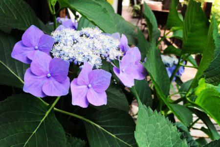 今年もきれいに紫陽花が咲きました💠